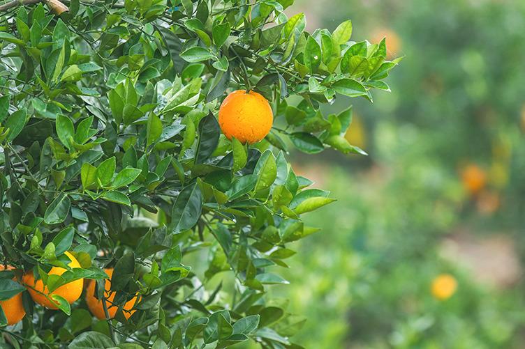 【香橙】堅持不打蠟!港商自建農莊種純天然鮮橙 清甜多汁又無核和橙